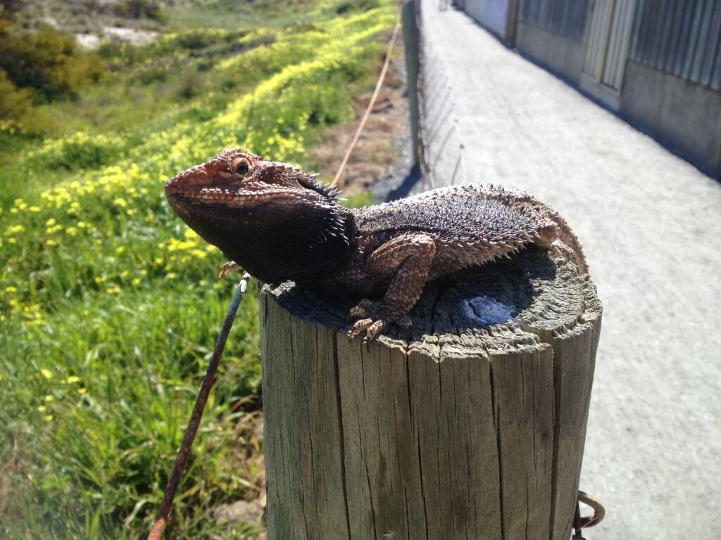 Lizard at Grange Beach, Adelaide, South Australia