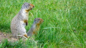 Squirrels in the Rocky Mountains