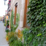 Ivy Walls in Fall, Le Plateau, Montreal