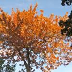 Autumn Leaves, Le Plateau, Montreal